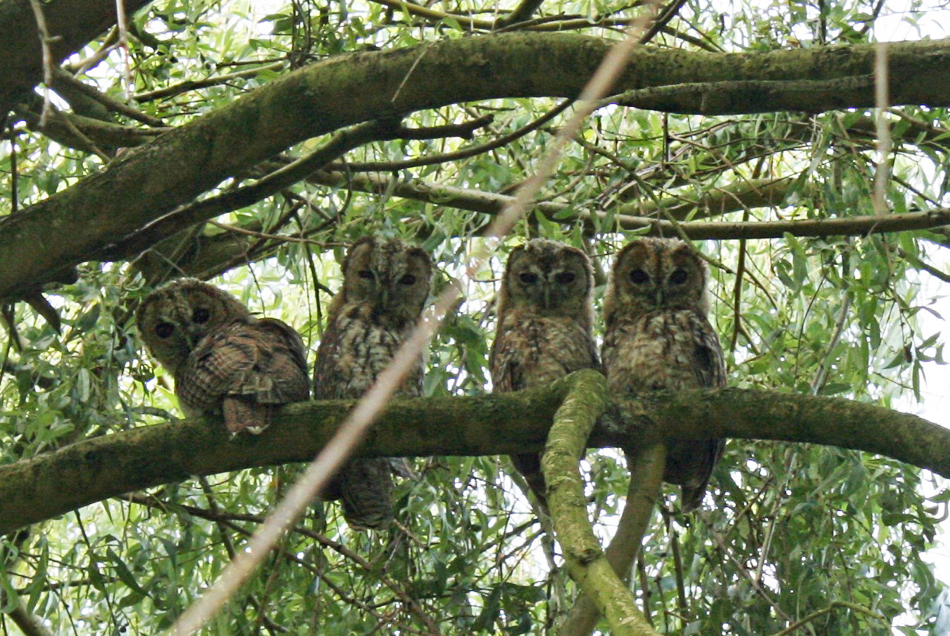 Four owls sit together on tree branch