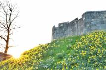 Sunrise bursting over green bank covered in daffodils beneath York City walls