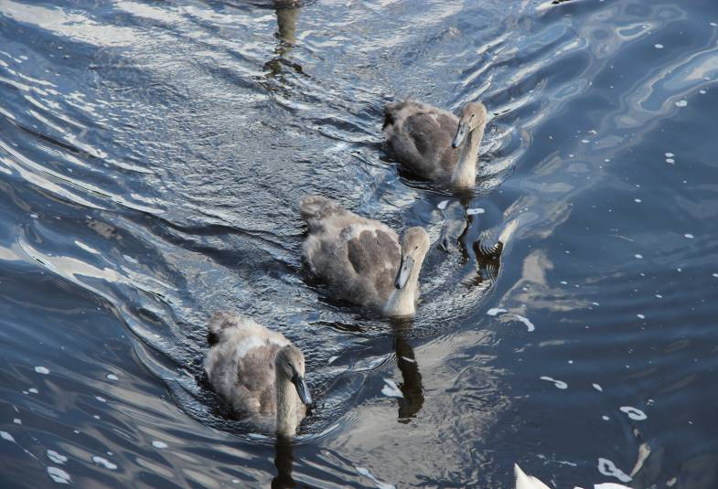 3 cygnets on the Rive Ouse