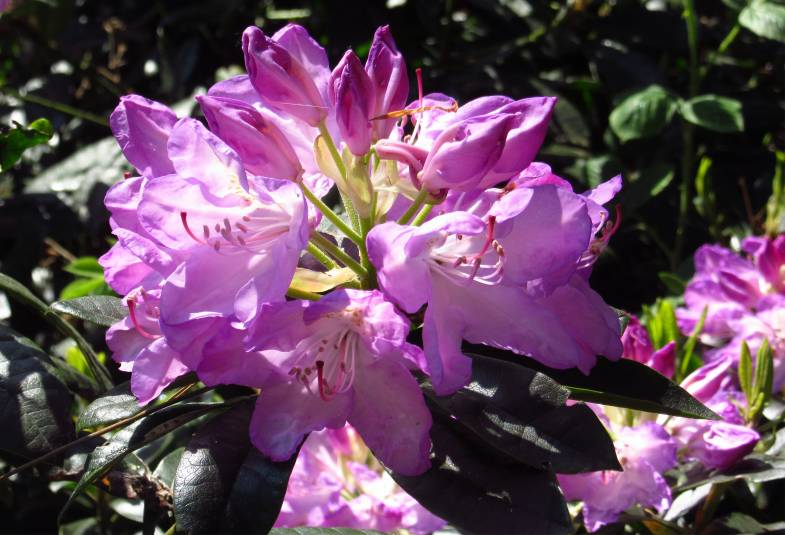 Close up of purple rhododendron flower
